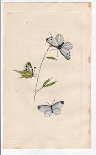1799年 Donovan 英国の昆虫の自然史 Pl.280 シロチョウ科 モンシロチョウ属 エゾスジグロシロチョウ ヒメシロチョウ属 2種