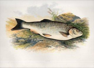 1879年 Houghton 英国の淡水魚類 コイ科 スクアリウス属 チャブ CHUB