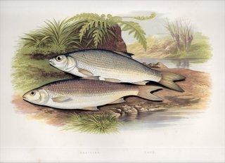 1879年 Houghton 英国の淡水魚類 コイ科 ウグイ属 デイス DACE GRAINING