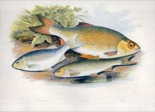 1879年 Houghton 英国の淡水魚類 コイ科 スカルディニウス属 ラッド ウグイ属 デイス