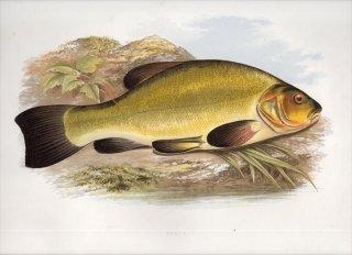 1879年 Houghton 英国の淡水魚類 コイ科 テンチ属 テンチ TENCH