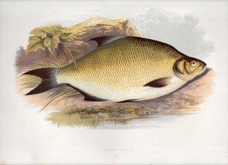 1879年 Houghton 英国の淡水魚類 コイ科 アブラミス属 ブリーム COMMON BREAM