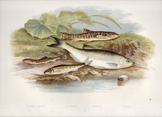 1879年 Houghton 英国の淡水魚類 ドジョウ科 タイリクシマドジョウ タニノボリ科 フクドジョウ コイ科 ミノー ブリーク 4種