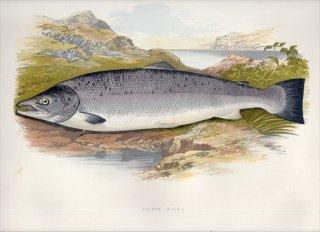 1879年 Houghton 英国の淡水魚類 サケ科 タイセイヨウサケ属 タイセイヨウサケ SALMON 雄