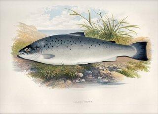 1879年 Houghton 英国の淡水魚類 サケ科 タイセイヨウサケ属 シートラウト SALMON TROUT