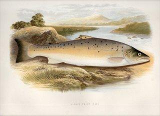 1879年 Houghton 英国の淡水魚類 サケ科 タイセイヨウサケ属 ブラウントラウト SALMON TROUT (VAR)