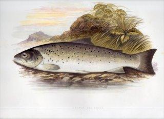 1879年 Houghton 英国の淡水魚類 サケ科 タイセイヨウサケ属 シートラウト GALWAY SEA TROUT