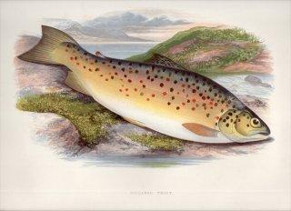 1879年 Houghton 英国の淡水魚類 サケ科 タイセイヨウサケ属 GILLAROO TROUT