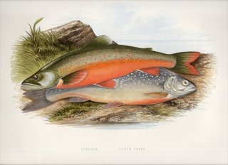 1879年 Houghton 英国の淡水魚類 サケ科 イワナ属 Salvelinus 2種 アルプスイワナ