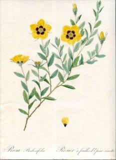 1817年 Redoute バラ図譜 初版 バラ科 バラ属 ロサ・ペルシカ Rosa Berberifolia