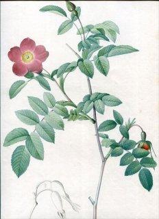 1817年 Redoute バラ図譜 初版 バラ科 バラ属 ロサ・ペンドゥリナ Rosa Alpina pendulina