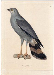 1820年 Temminck 新鳥類図譜 Pl.3 ハヤブサ科 ハヤブサ属 Autour a doigt court 雌 成鳥