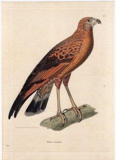 1820年 Temminck 新鳥類図譜 Pl.25 タカ科 カニクイノスリ属 サバンナノスリ Buse roussatre 成鳥