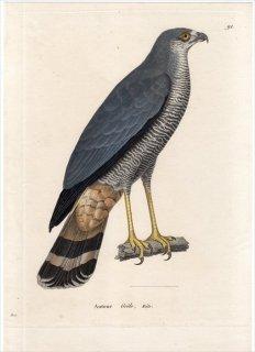 1820年 Temminck 新鳥類図譜 Pl.91 ハヤブサ科 ハヤブサ属 セーシェルチョウゲンボウ Autour Grele 雄 成鳥