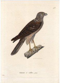 1820年 Temminck 新鳥類図譜 Pl.93 タカ科 ハイタカ属 アカエリツミ Autour a collier 若鳥