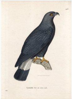 1820年 Temminck 新鳥類図譜 Pl.103 タカ科 カギハシトビ属 カギハシトビ Cymindis bec en croc 雄 成鳥