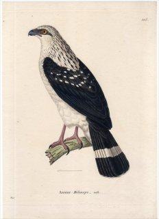 1820年 Temminck 新鳥類図譜 Pl.105 タカ科 アオノスリ属 カオグロノスリ Autour Melanope 成鳥