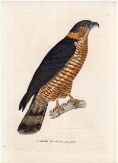 1820年 Temminck 新鳥類図譜 Pl.115 タカ科 カギハシトビ属 カギハシトビ Cymindis bec en croc 雌 若鳥