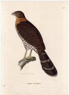 1820年 Temminck 新鳥類図譜 Pl.116 ハヤブサ科 モリハヤブサ属 クビワモリハヤブサ Autour brachiptere 雌 若鳥