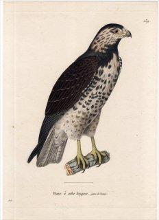 1820年 Temminck 新鳥類図譜 Pl.139 タカ科 ノスリ属 オジロノスリ Buse a ailes longues 若鳥
