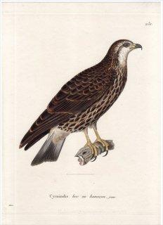 1820年 Temminck 新鳥類図譜 Pl.231 タカ科 ヘリコレステス属 ハシボソトビ Cymindis bec en hamecon 若鳥