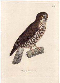 1820年 Temminck 新鳥類図譜 Pl.289 フクロウ科 アオバズク属 アオバズク Chouette hirsute 成鳥