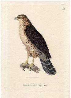 1820年 Temminck 新鳥類図譜 Pl.295 タカ科 ハイタカ属 セグロオオタカ Autour a ventre gris 若鳥