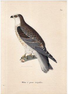 1820年 Temminck 新鳥類図譜 Pl.319 タカ科 カタグロトビ属 オジロトビ Milan a queue irreguliere 雌 若鳥