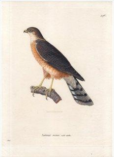1820年 Temminck 新鳥類図譜 Pl.496 タカ科 ハイタカ属 ハイタカ Autour menu 雄 成鳥