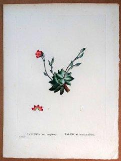 1799年 Candolle 多肉植物図譜 アナカンプセロス科 アナカンプセロス属 TALINUM anacampseros