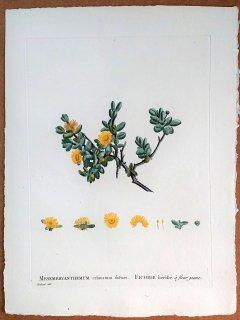1799年 Candolle 多肉植物図譜 ハマミズナ科 デロスペルマ属 Delosperma echinatum