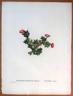 1799年 Candolle 多肉植物図譜 ハマミズナ科 エレプシア属 MESEMBRYANTHEMUM stellatum