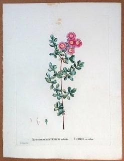 1802年 Candolle 多肉植物図譜 ハマミズナ科 オスクラリア属 MESEMBRYANTHEMUM deltoides