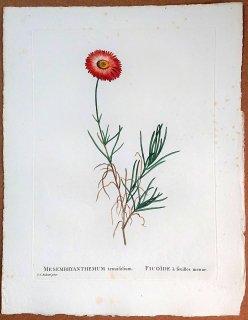 1802年 Candolle 多肉植物図譜 ハマミズナ科 マツバギク属 ヒメマツバギク MESEMBRYANTHEMUM tenuifolium