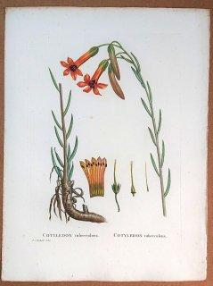 1802年 Candolle 多肉植物図譜 ベンケイソウ科 チレコドン属 COTYLEDON tuberculosa
