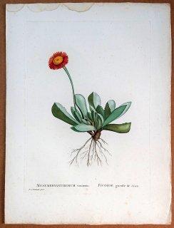 1802年 Candolle 多肉植物図譜 ハマミズナ科 カルアンツス属 MESEMBRYANTHEMUM caninum
