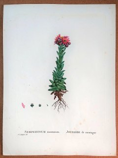 1804年 Candolle 多肉植物図譜 ベンケイソウ科 クモノスバンダイソウ属 クモノスバンダイソウSEMPERVIVUM montanum