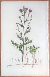 1835年 Curtis Flora Londinensis キク科 アザミ属 セイヨウトゲアザミ Cnicus arvensis