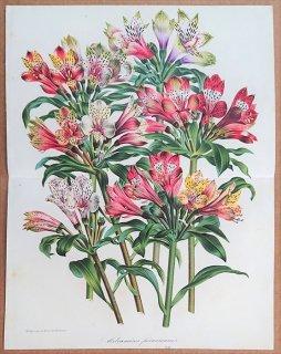 1865年 Van Houtte ヨーロッパの植物 ユリズイセン科 アルストロメリア属 Altstroemeres peruviennes