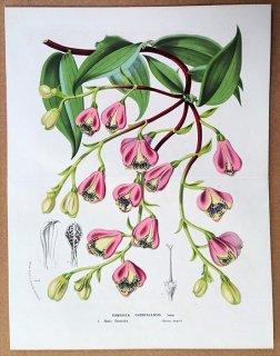 1875年 Van Houtte ヨーロッパの植物 ユリズイセン科 ボマレア属 Bomarea chontalensis