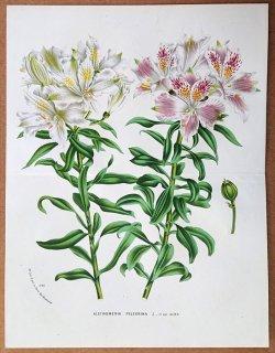 1877年 Van Houtte ヨーロッパの植物 ユリズイセン科 アルストロメリア属 Alstroemeria pelegrina L