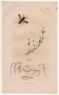 1836年 John Curtis 英国の昆虫学 Pl.584 ギングチバチ科 ディディネイス属 Alyson kennedii ナデシコ科 アライトツメクサ