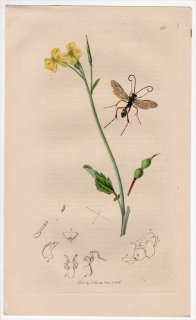 1836年 John Curtis 英国の昆虫学 Pl.588 ヒメバチ科 バンクス属 Banchus farrani アブラナ科 セイヨウノダイコン