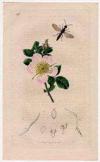 1836年 John Curtis 英国の昆虫学 Pl.596 ナガコバチ科 エウサンダルム属 Stenocera walkeri バラ科 バラ属