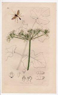 1836年 John Curtis 英国の昆虫学 Pl.600 ヒメバチ科 アメバチ属 Ophion ventricosus セリ科 ハナウド