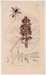 1836年 John Curtis 英国の昆虫学 Pl.604 アナバチ科 アンモフィラ属 Ammophila campestris キク科 フキ属
