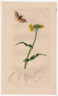 1836年 John Curtis 英国の昆虫学 Pl.617 ハバチ科 カブラハバチ属 Athalia spinarum アブラナ科 アブラナ属