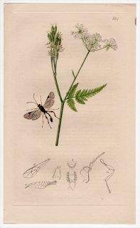 1836年 John Curtis 英国の昆虫学 Pl.624 ヒメバチ科 プリストメルス属 Pristomerus vulnerator セリ科 スイートシスリー