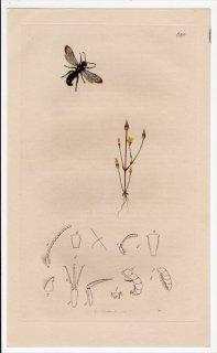 1837年 John Curtis 英国の昆虫学 Pl.628 ハキリバチ科 ケロストマ属 Chelostoma florisomnis リンドウ科 キケンディア属