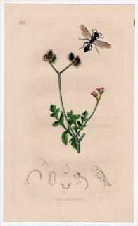 1837年 John Curtis 英国の昆虫学 Pl.632 ギングチバチ科 ヨコバイバチ属 Pemphredon unicolor セリ科 カウカリス属